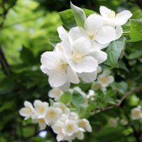 Жасмина белые цветы. :: Валентина ツ ღ✿ღ
