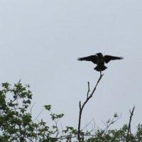 Ворона сохнет после сильного дождя :: Александра Карпова