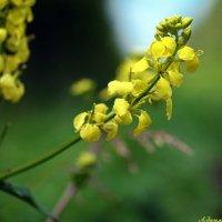 Лекарственные растения Среднего Урала: желтушник серый (раскидистый) :: Андрей Заломленков
