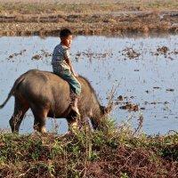 Бирма.Мальчик на буйволе. :: Лариса Борисова