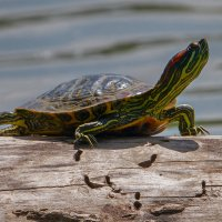 Красноухая черепаха ... :: Vadim77755 Коркин