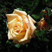 """""""вот и настало время цветения роз! мир на ладони....."""" :: Galina Dzubina"""