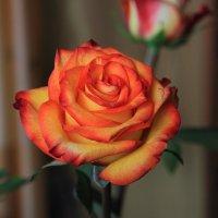 Роза. :: Victor Klyuchev