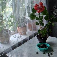 Кухонный этюд с геранью и черешней :: Нина Корешкова
