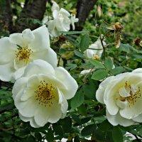 """""""...И сегодня расцвёл, как невеста в цветах, ... колючий, прекрасный шиповник..."""" :: Galina Dzubina"""