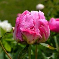 Розовый пион :: Милешкин Владимир Алексеевич