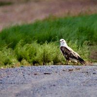 Грозный птиц :: Сергей Рычков
