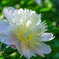 Цветок пиона на утреннем солнце :: Сергей Тагиров