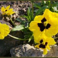 Желтые цыплята :: lady v.ekaterina