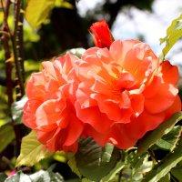 Королева цветов :: Cветлана Свистунова
