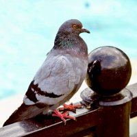 гордый голубь :: Стелла