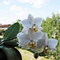 орхидея phalaenopsi :: Ольга Варванец