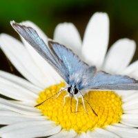 Ромашковый нектар :: Сергей Казаченко