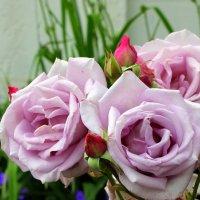 Зацепилось лето за колючий куст -роза фиолетовая потревожит грусть. :: Валентина ツ ღ✿ღ