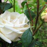 То роза белая, краснеющая от стыда, внимая повести любовной, что соловей поёт всегда. :: Валентина ツ ღ✿ღ