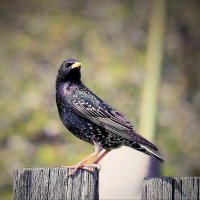 ... And it is stupid starling, as the song goes? :: Александр Липецкий