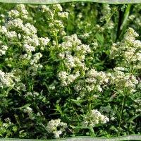 Цветы полевые :: veera (veerra)