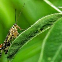 Скорпионовая муха - панорпа :: Va-Dim ...