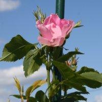 Первая роза :: Наталия Зыбайло