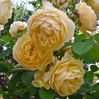 Английская роза :: Андрей ТOMА©
