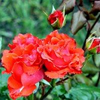 Цветет в садах божественного рая из нежной ткани - бархатная  роза. :: Валентина ツ ღ✿ღ
