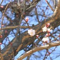распускающиеся цветы урюка :: Александра Ельчина