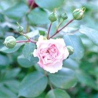 Роза :: Мария Тимерханова