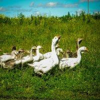 в бой идут одни гуси :: Дмитрий Беляков
