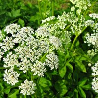 Полевые цветы :: veera (veerra)