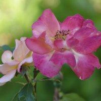 розы зацвели :: Мария Климова