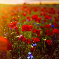 Sea of Poppies :: Ruslan Bolgov