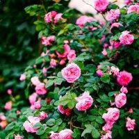 Розы :: Анастасия Сидорова