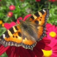 А бабочка крылышками бяк-бяк-бяк-бяк.... :: Valentina
