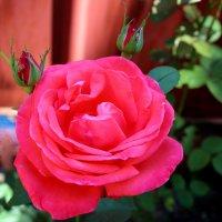 Роза :: Cветлана Свистунова
