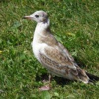 Молодая чайка :: Константин Ординарцев