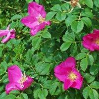 Розовый шиповник :: Фотогруппа Весна.