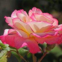 Свет розы :: Клара Леоненко
