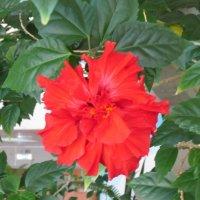 Китайская роза :: Дмитрий Никитин