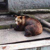 медведь :: Александр Борисович