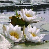 Речные лилии :: Павлова Татьяна Павлова