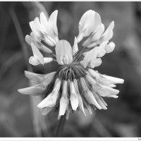 Клевер цветет :: Swetlana V