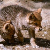 Волчата :: cfysx