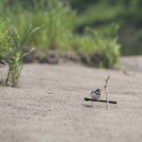 Птичка малый зуёк :: Георгий Морозов