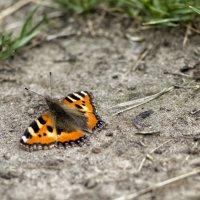 бабочка :: Алексей Носков