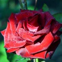 О, как прекрасна утренняя роза! :: Nina Streapan