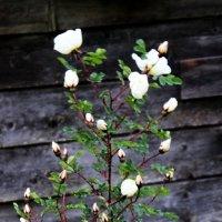 Белая роза на серой стене :: Андрей Скорняков