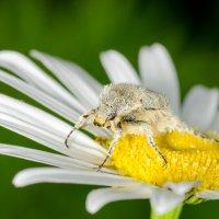Сахарный жук :: Сергей Казаченко