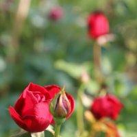 Розы,розы,розы... :: Татьяна Калинкина