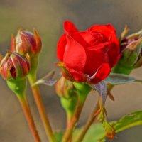 Красная роза :: Cerg Smith