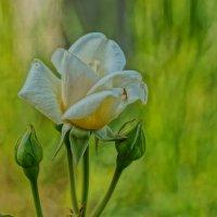 Роза :: Cerg Smith